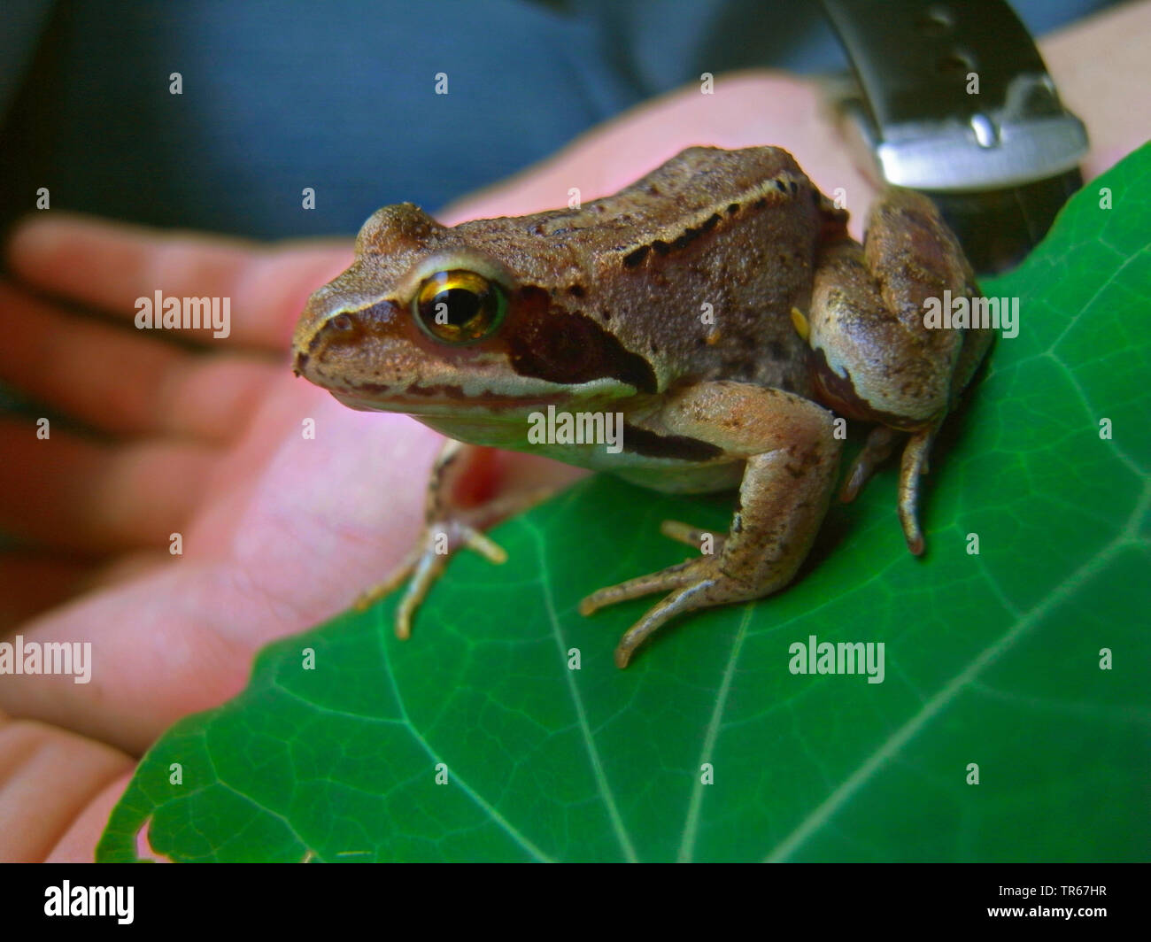 common frog, grass frog (Rana temporaria), on a hand, Germany - Stock Image