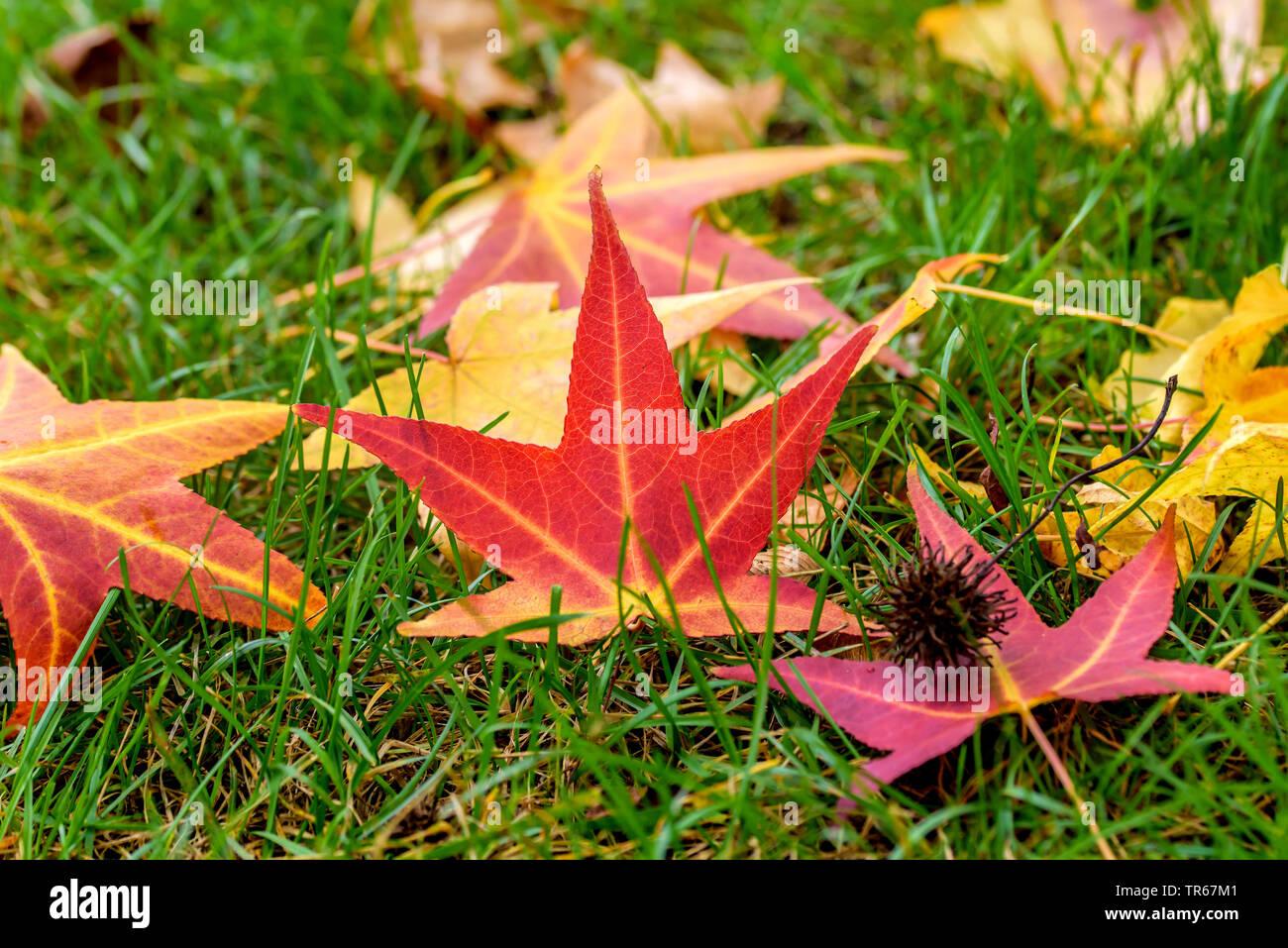 Satin Walnut, Sweet Gum, Red Gum (Liquidambar styraciflua), autumn leaves on a lawn, Germany - Stock Image