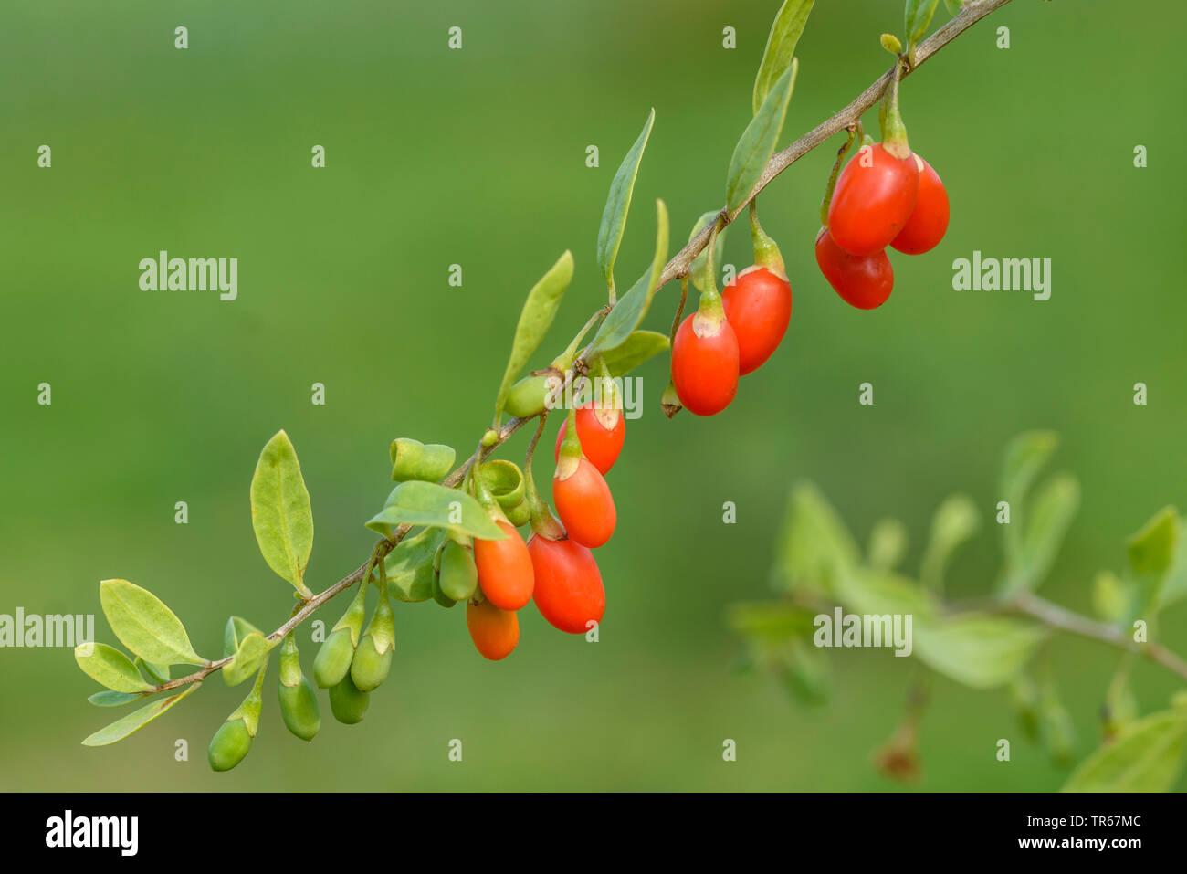 Goji Berry Seeds ~Lycium barbarum~ Himalayan Wolfberry Chinese Matrimony Vine