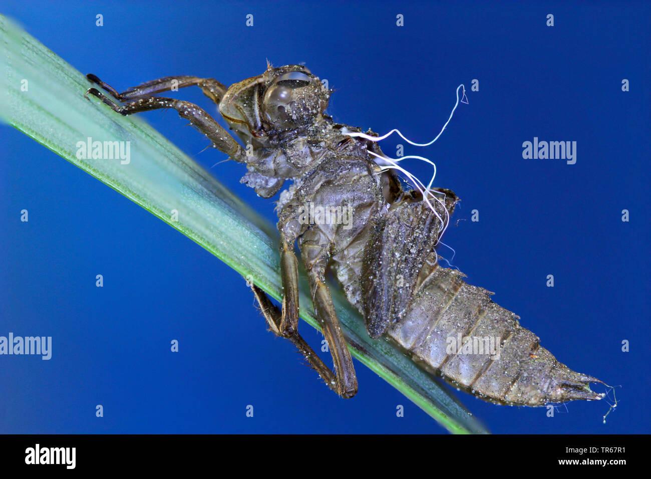 Grosse Heidelibelle (Sympetrum striolatum), Exuvie auf einem Grashalm, Seitenansicht, Deutschland, Mecklenburg-Vorpommern   common sympetrum, common d - Stock Image