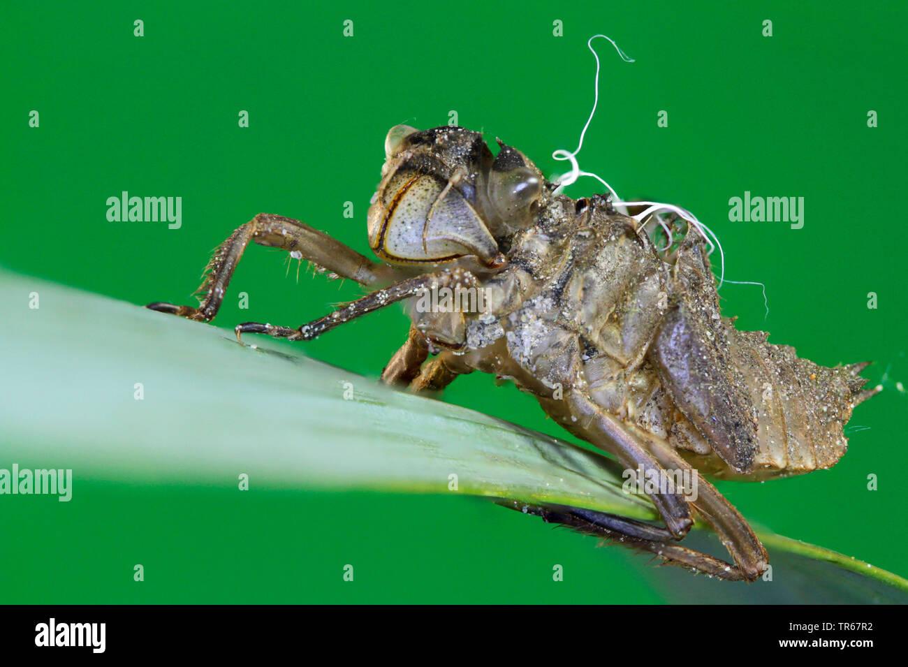 Grosse Heidelibelle (Sympetrum striolatum), Exuvie auf einem Grashalm, Deutschland, Mecklenburg-Vorpommern   common sympetrum, common darter (Sympetru - Stock Image