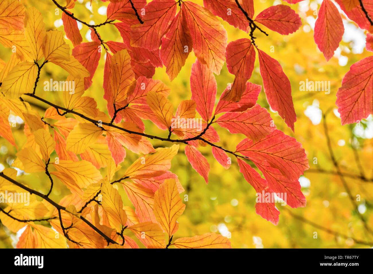 Eisenholzbaum, Eisenholz-Baum, Eisenholz, Parrotie (Parrotia persica), Zweig mit Herbstblaettern   Ironwood, parrotia (Parrotia persica), branch with - Stock Image