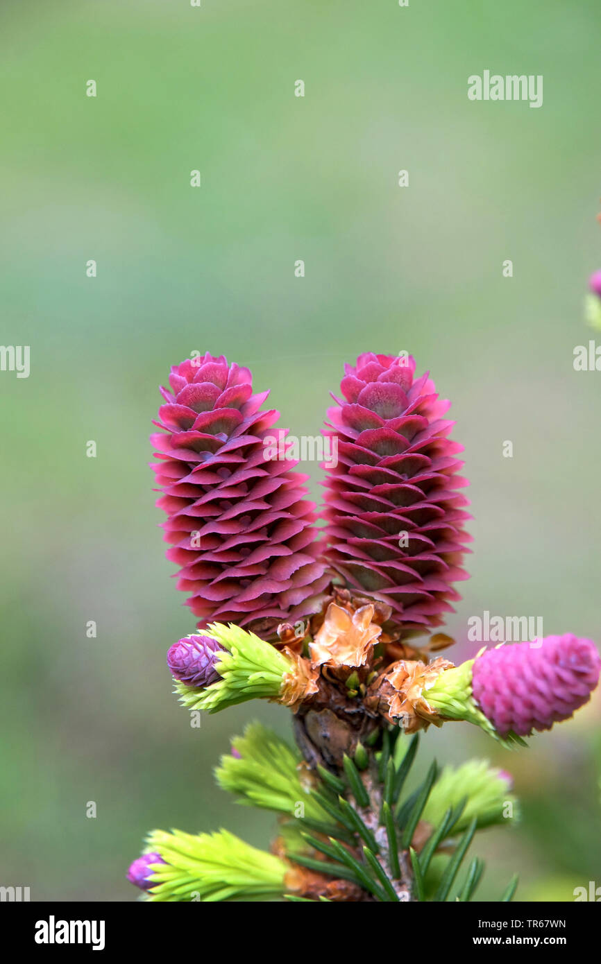 Picea Abies Pusch Stock Photos Picea Abies Pusch Stock Images Alamy