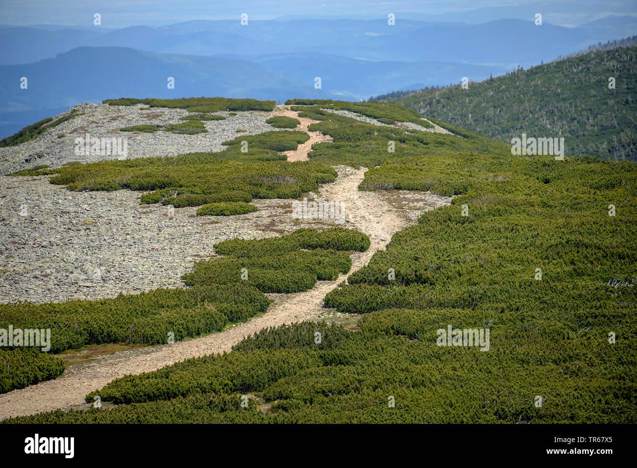 Mountain pine, Mugo pine (Pinus mugo var pumilio), on Schneekoppe in the Giant Mountains, Czech Republic Stock Photo
