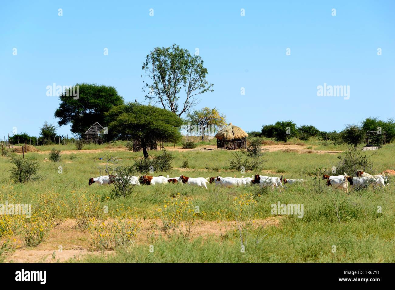 domestic goat (Capra hircus, Capra aegagrus f. hircus), herd of goats in savanna in front of traditional hut, Botswana, Kuke - Stock Image