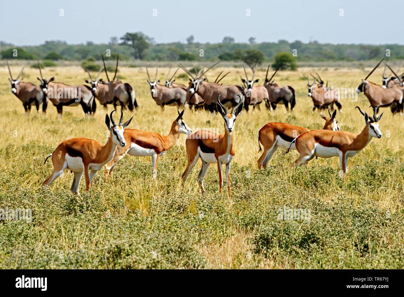 springbuck, springbok (Antidorcas marsupialis), herds of springbucks and gemsbucks in savanna, Botswana, Central Kalahari Game Reserve, Deception Valley - Stock Image