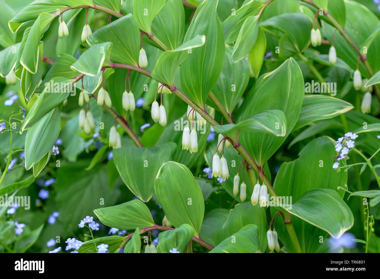 Cultivar Variegatum Stock Photos & Cultivar Variegatum Stock