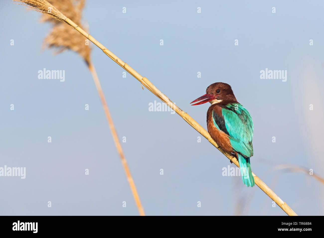 white-throated kingfisher, White-breasted Kingfisher, River Kingfisher (Halcyon smyrnensis), sitting on reed, Israel - Stock Image