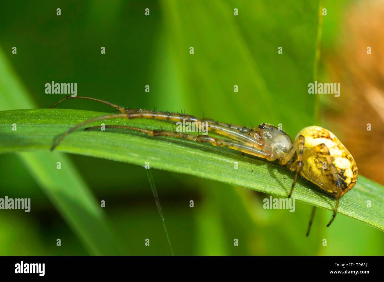 Baldachinspinne, Baldachin-Spinne, Frontinellina frutetorum (Frontinellina frutetorum, Frontinella frutetorum, Linyphia frutetorum), lauert auf einem Stock Photo
