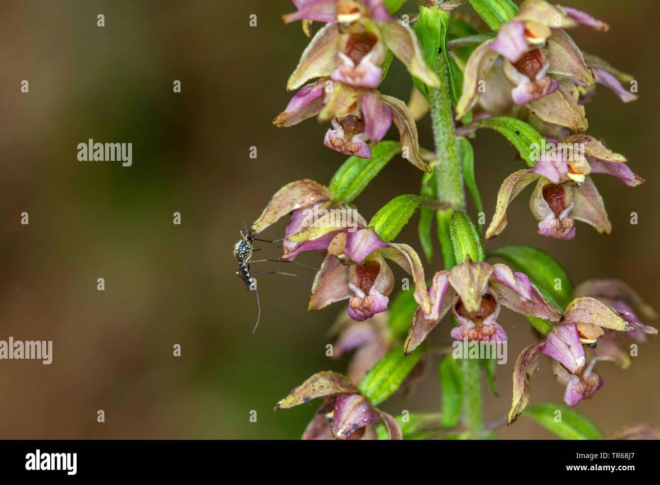 Broad-leaved helleborine, Eastern helleborine (Epipactis helleborine), inland floodwater mosquito, Aedes vexans, on a flower, Germany, Mecklenburg-Western Pomerania Stock Photo