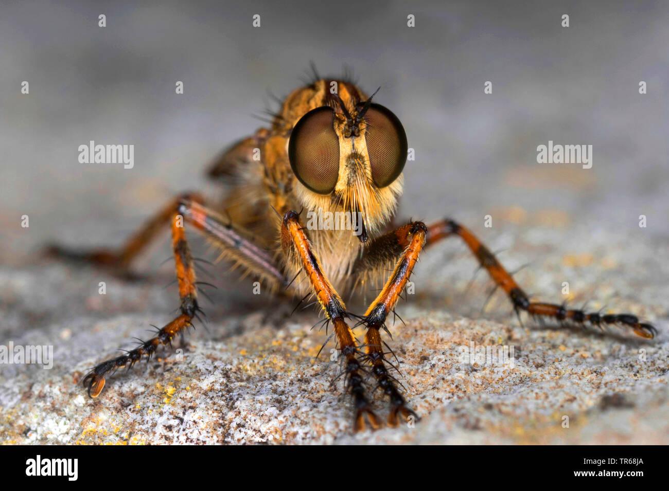 robberfly (Tolmerus cingulatus), compound eyes, front view, Germany, Mecklenburg-Western Pomerania - Stock Image