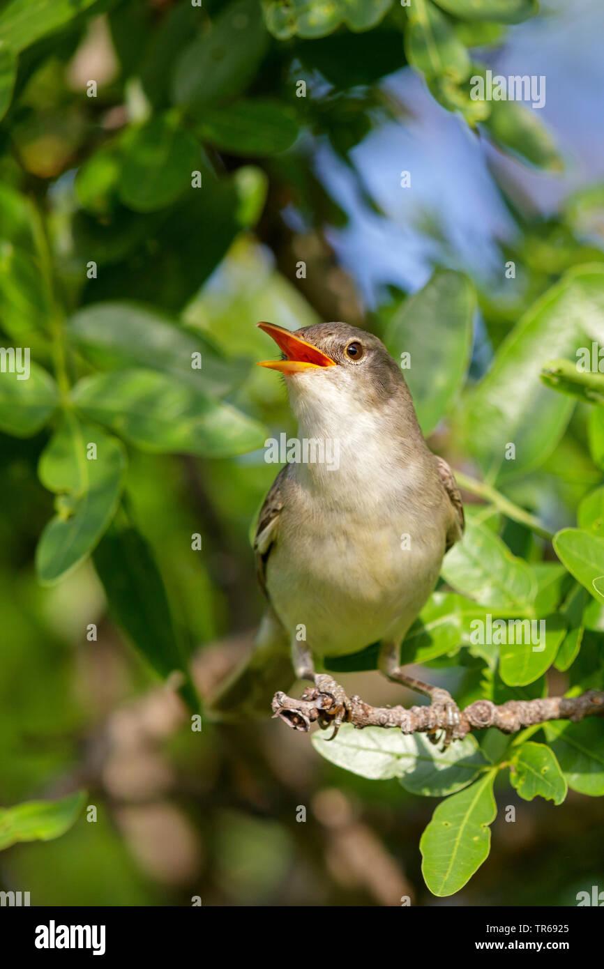 olive-tree warbler (Hippolais olivetorum), singing male, Greece, Lesbos Stock Photo