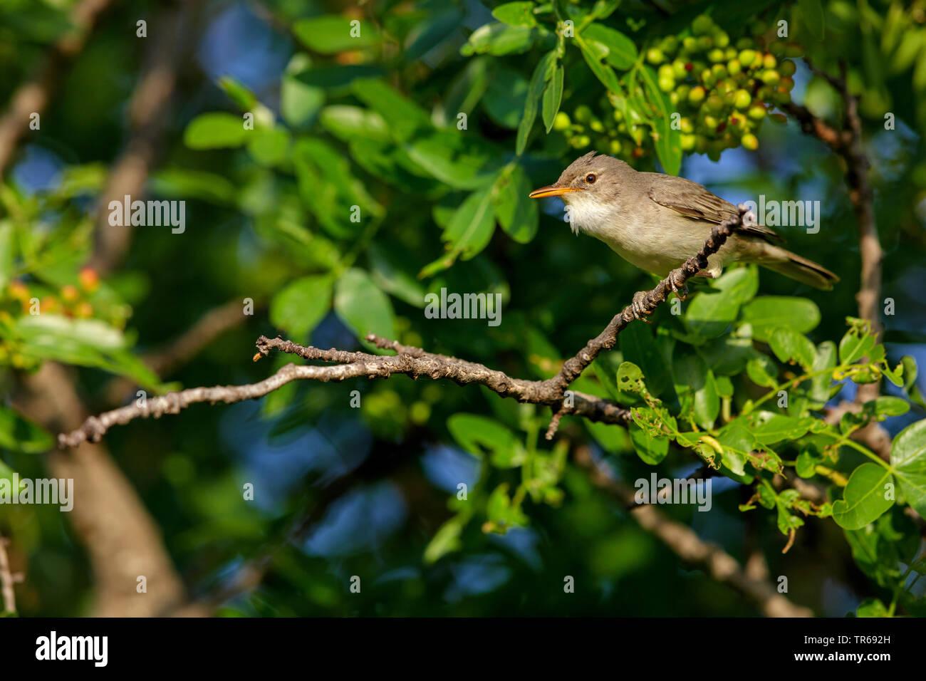 olive-tree warbler (Hippolais olivetorum), on a branch, Greece, Lesbos Stock Photo