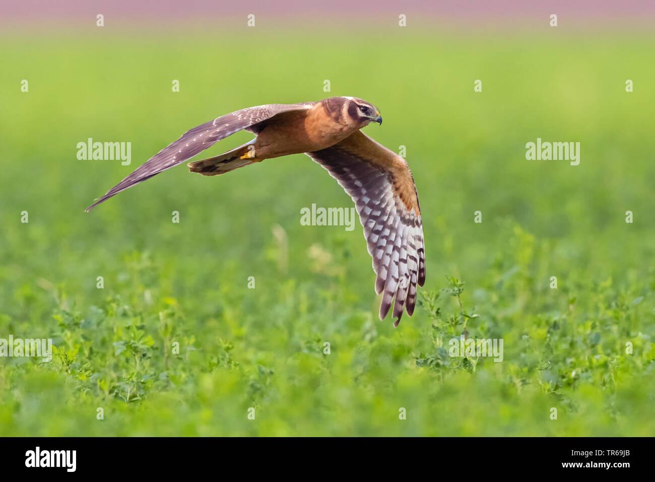 pallid harrier (Circus macrourus), flying, Israel - Stock Image