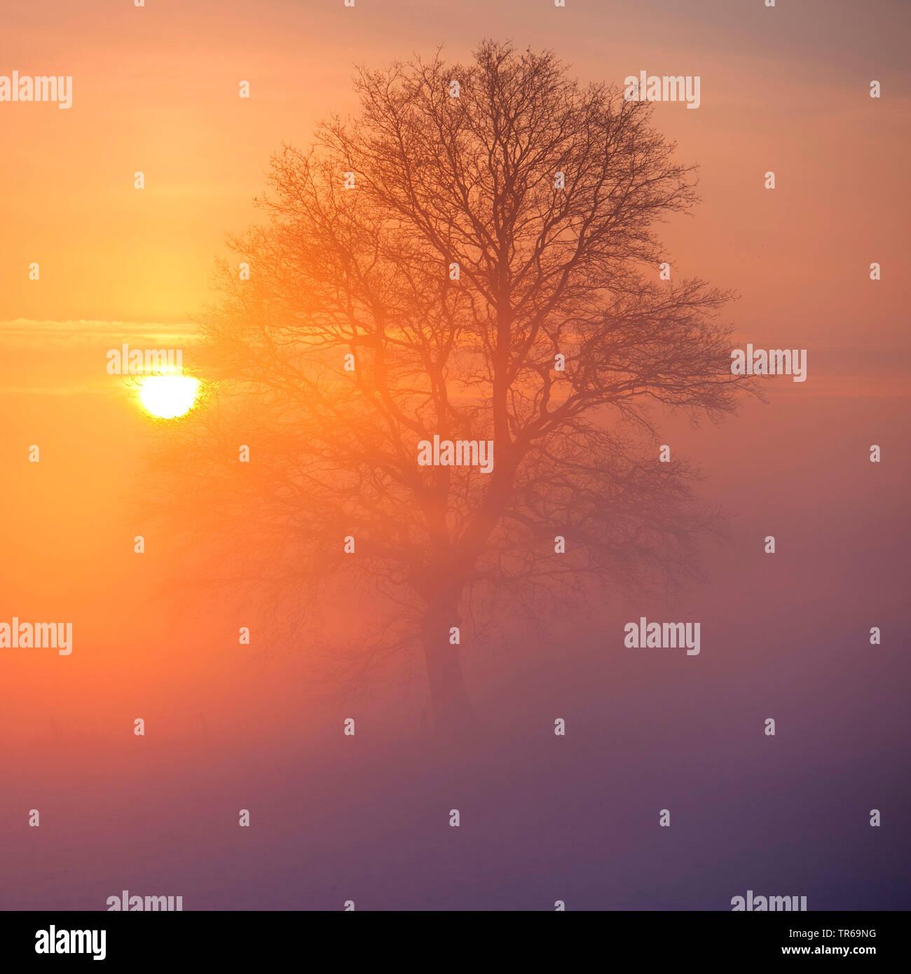 Eiche (Quercus spec.), Eiche im Raureif im Nebel, Deutschland, Niedersachsen   oak (Quercus spec.), oak with hoarfrost in fog, Germany, Lower Saxony   - Stock Image