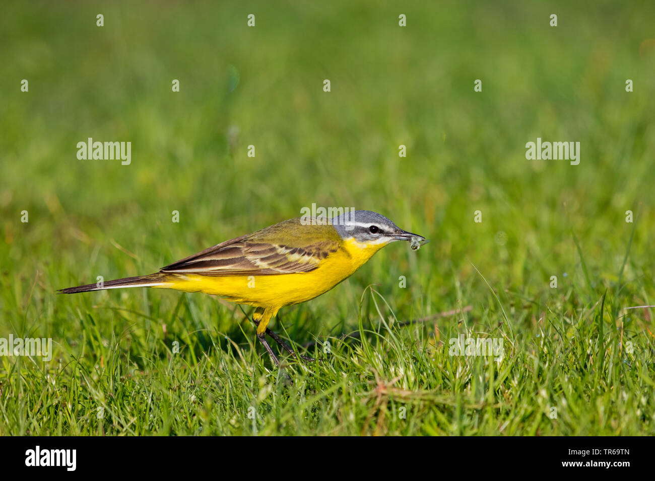 Blue-headed Wagtail, Yellow Wagtail (Motacilla flava flava), with prey in the beak in a meadow, Greece, Lesbos - Stock Image