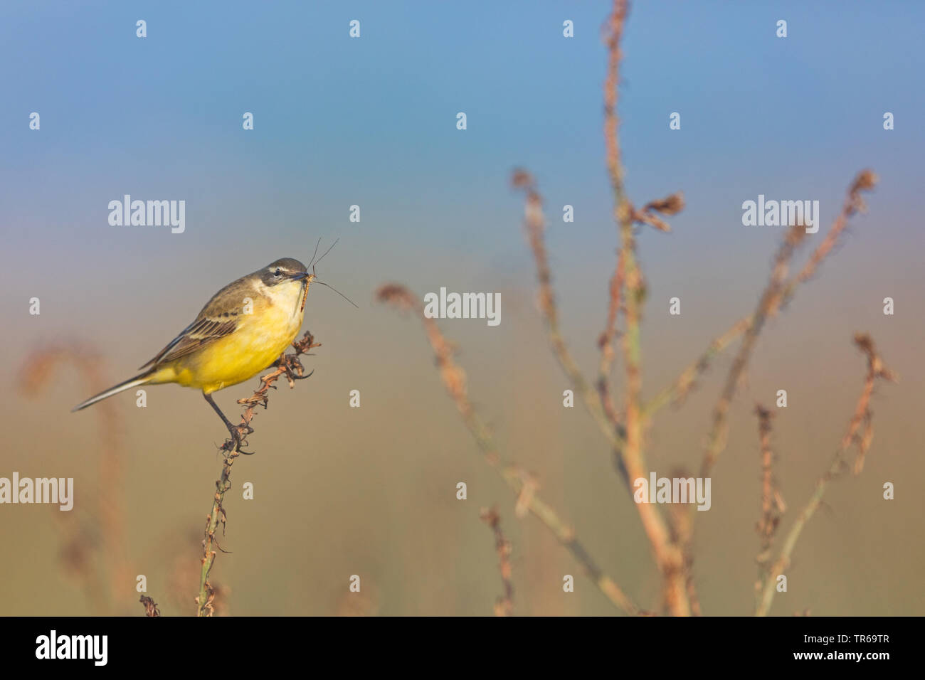 Blue-headed Wagtail, Yellow Wagtail (Motacilla flava flava), sitting on a plant with prey in the beak, Greece, Lesbos - Stock Image