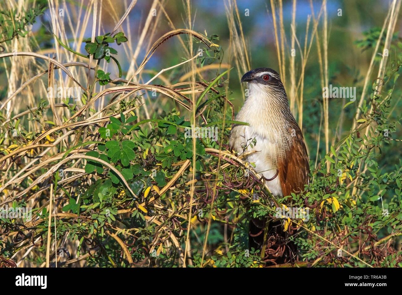 Weissbrauenkuckuck, Weissbrauen-Kuckuck, Weissbrauen-Spornkuckuck, Weissbrauenspornkuckuck (Centropus superciliosus), sitzt auf einem Busch, Sambia | - Stock Image