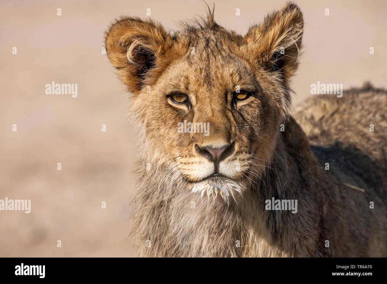 Kalahari Lion (Panthera leo vernayi, Panthera vernayi), lion pup, portrait, South Africa, Kalahari Gemsbok National Park Stock Photo