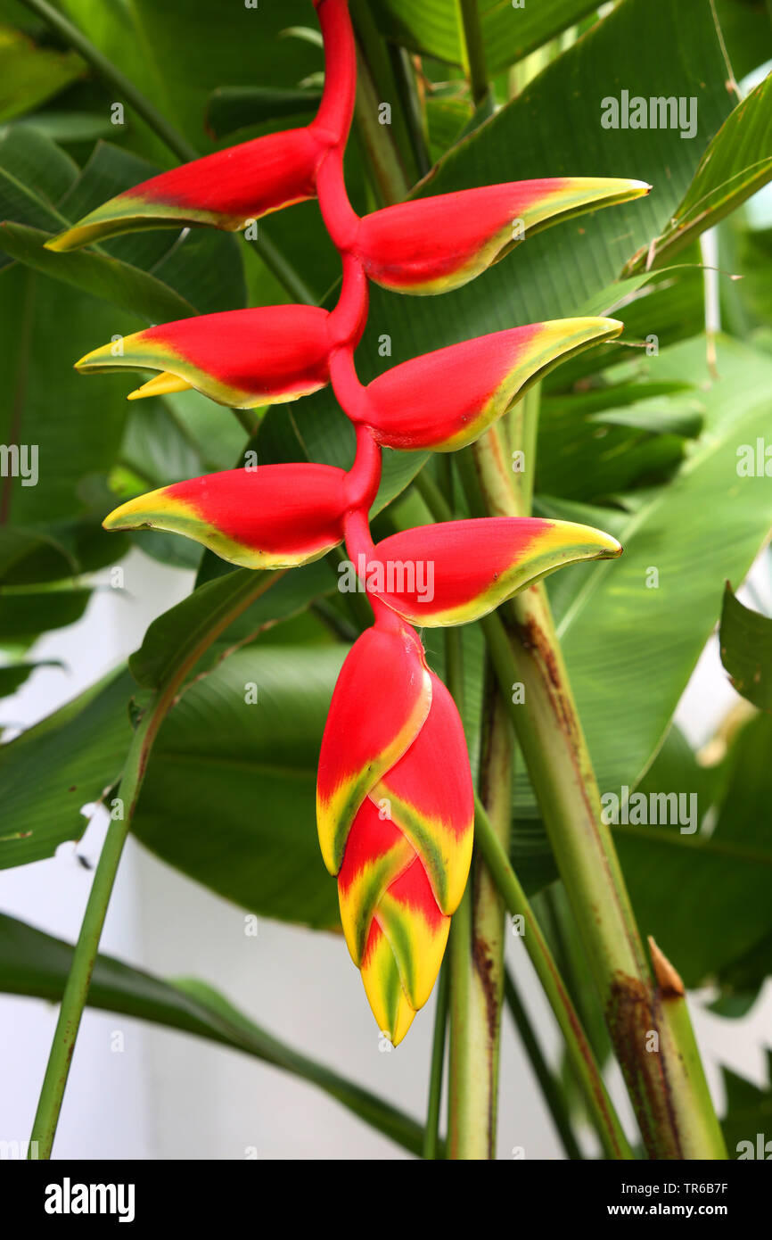 Haengende Hummerschere (Heliconia rostrata), Bluetenstand, Philippinen, Southern Leyte, Panaon Island, Pintuyan | lobster claw heliconia (Heliconia ro - Stock Image