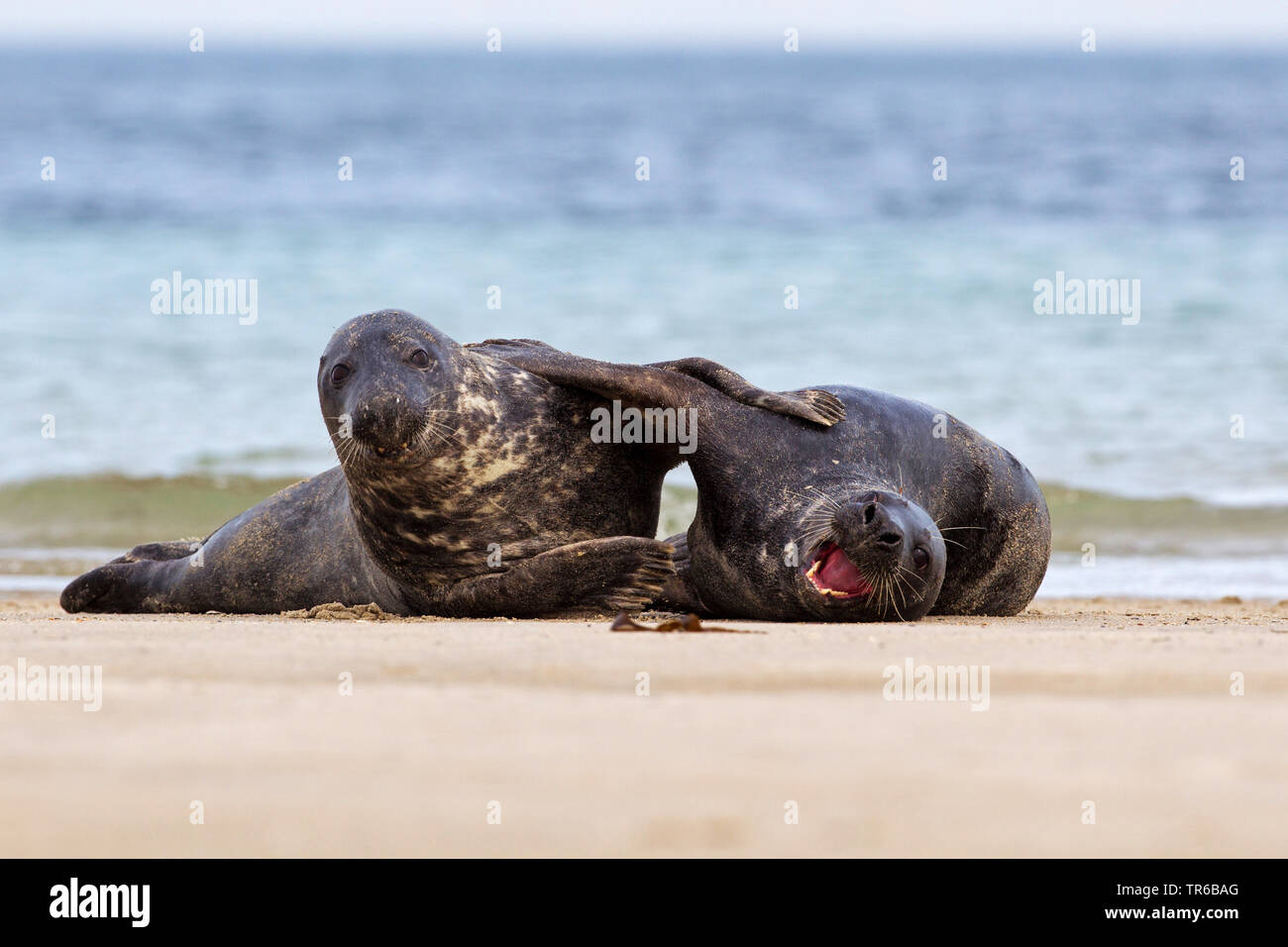 gray seal (Halichoerus grypus), two playing young animals on the beach, front view , Germany, Schleswig-Holstein, Heligoland Stock Photo