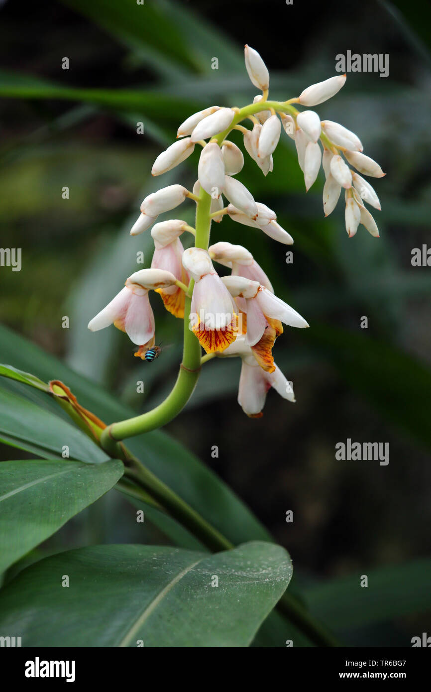 Muschelingwer, Muschel-Ingwer (Alpinia zerumbet), bluehend, Singapur   Shell Ginger, Light galangal, Pink porcelain lily, Shell flower, Variegated gin - Stock Image