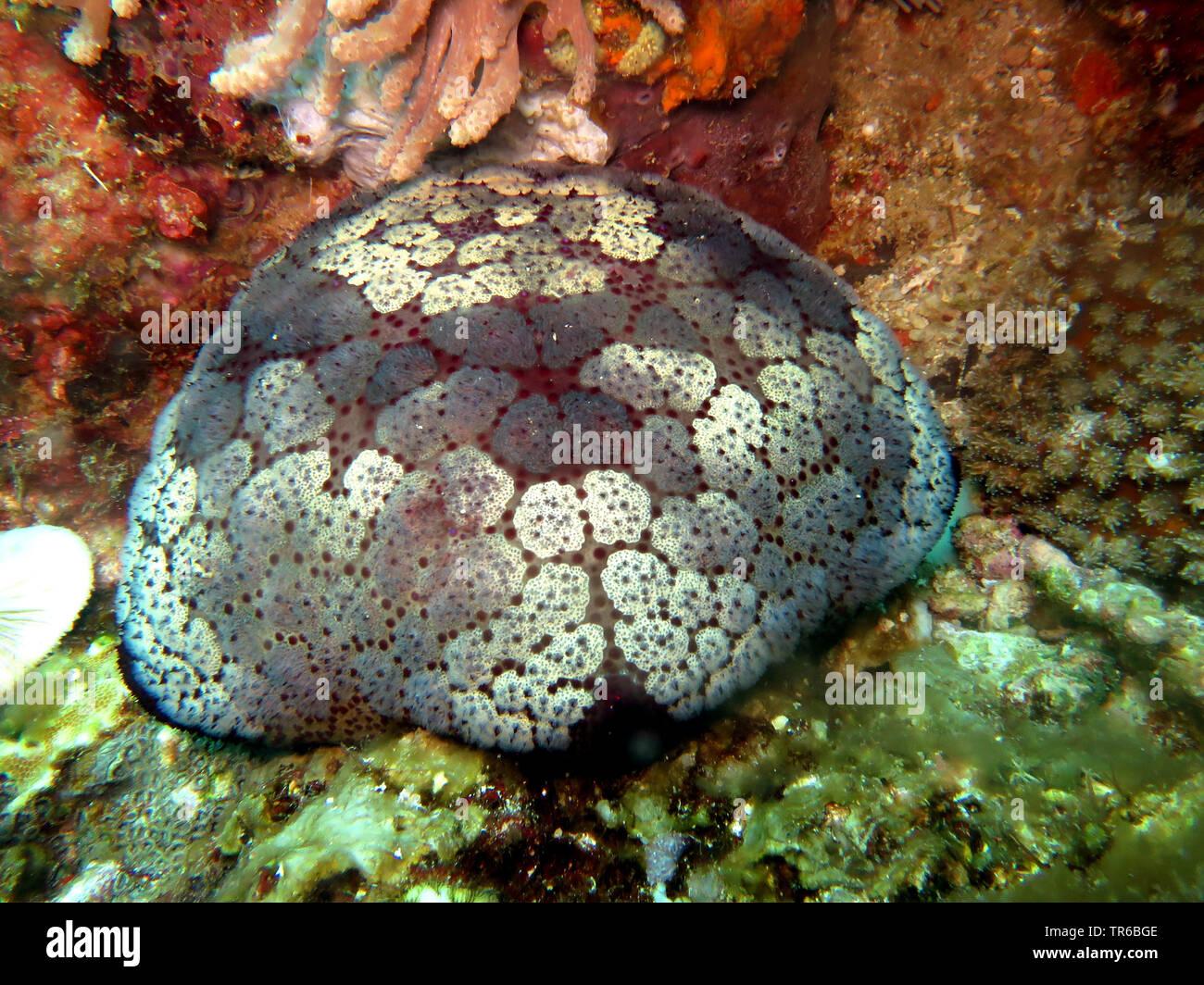 cushion star (Culcita novaeguineae), at the reef, Philippines, Southern Leyte, Panaon Island, Pintuyan - Stock Image