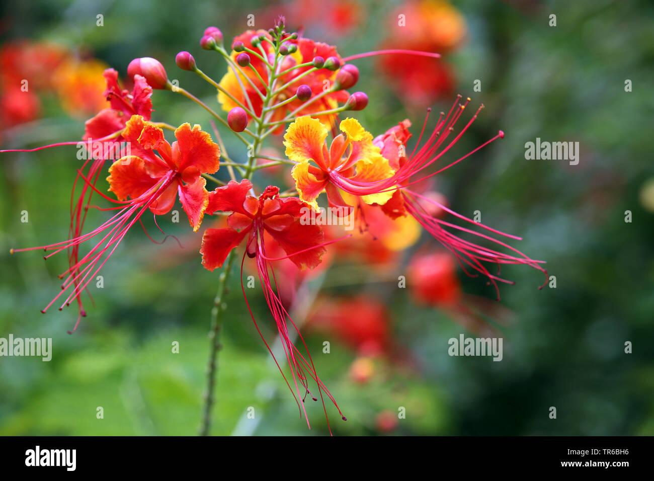 Stolz von Barbados, Pfauenstrauch, Pfauen-Strauch, Pfauenblume, Pfauen-Blume, Flamboyant, Zwerg-Poinciane, Zwergpoinciane (Caesalpinia pulcherrima), b - Stock Image