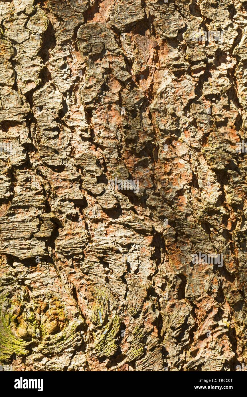 Norway spruce (Picea abies), bark, Germany - Stock Image