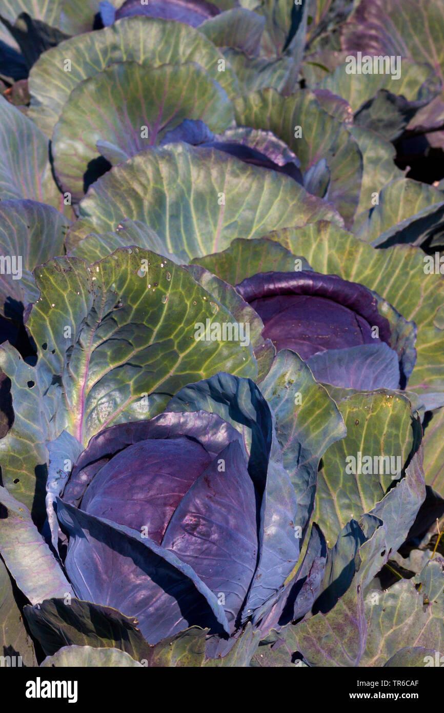 Rotkohl, Blaukohl, Rotkraut, Blaukraut, Rotkabis, Blaukabis (Brassica oleracea var. capitata f. rubra), Rotkohl auf dem Feld, , Deutschland, Bayern | - Stock Image