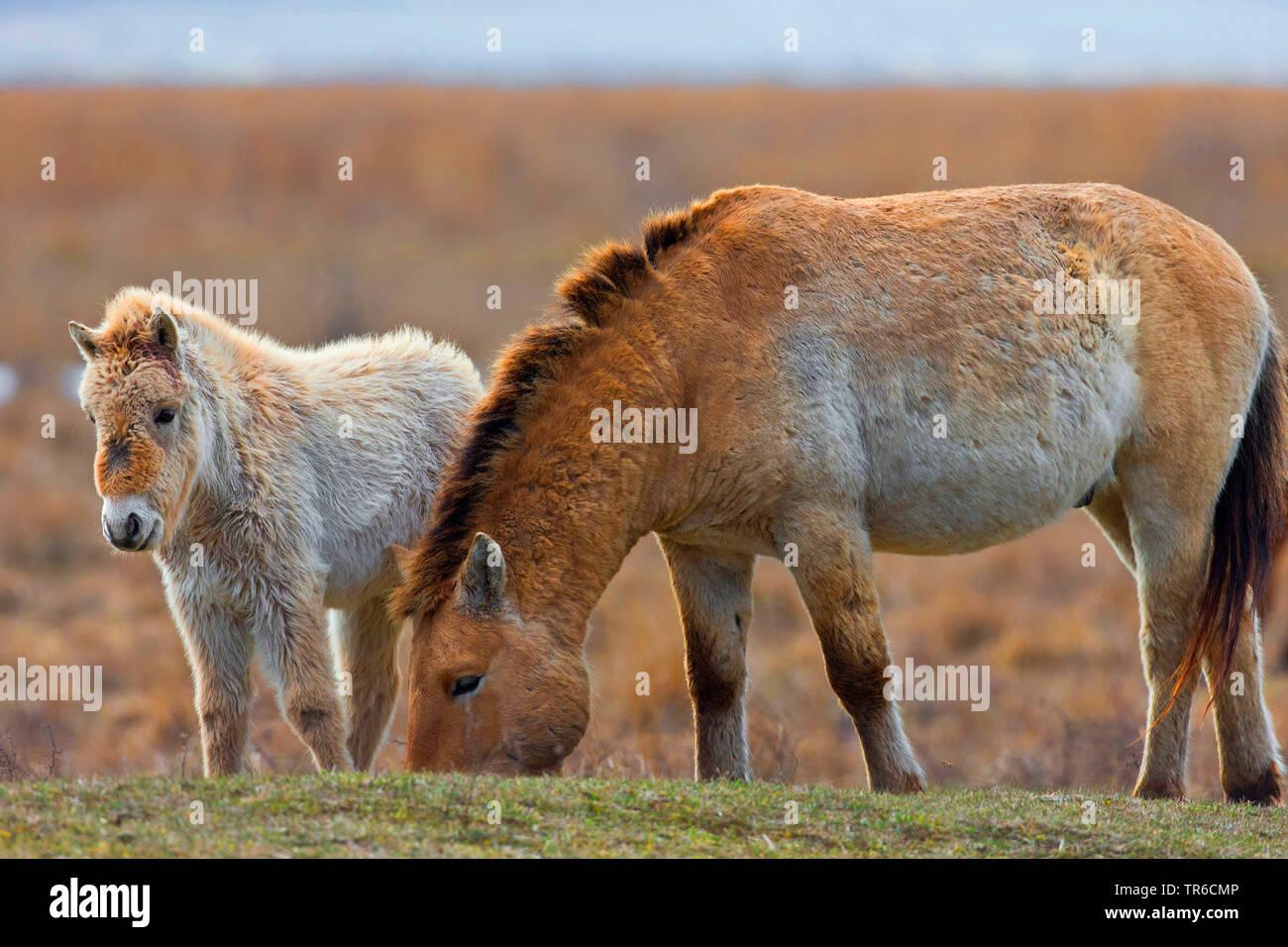 Przewalskipferd, Przewalski-Pferd, Przewalski-Wildpferd, Asiatisches Wildpferd, Mongolisches Wildpferd (Equus przewalski), Stute mit Fohlen im Feuchtg - Stock Image