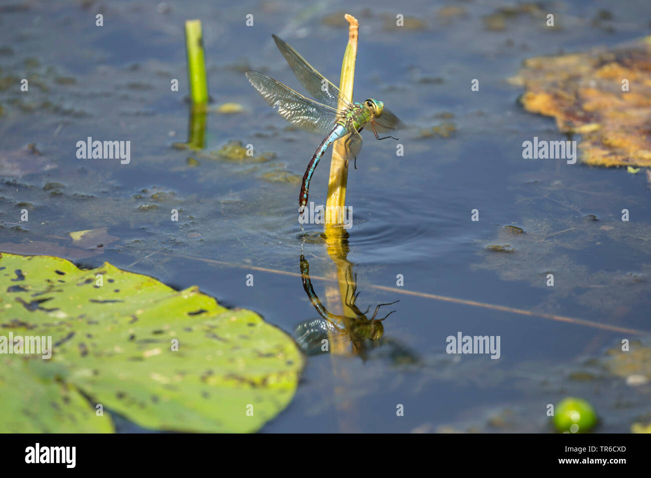 emperor dragonfly (Anax imperator), female flying away after laying eggs, Germany, Bavaria Stock Photo