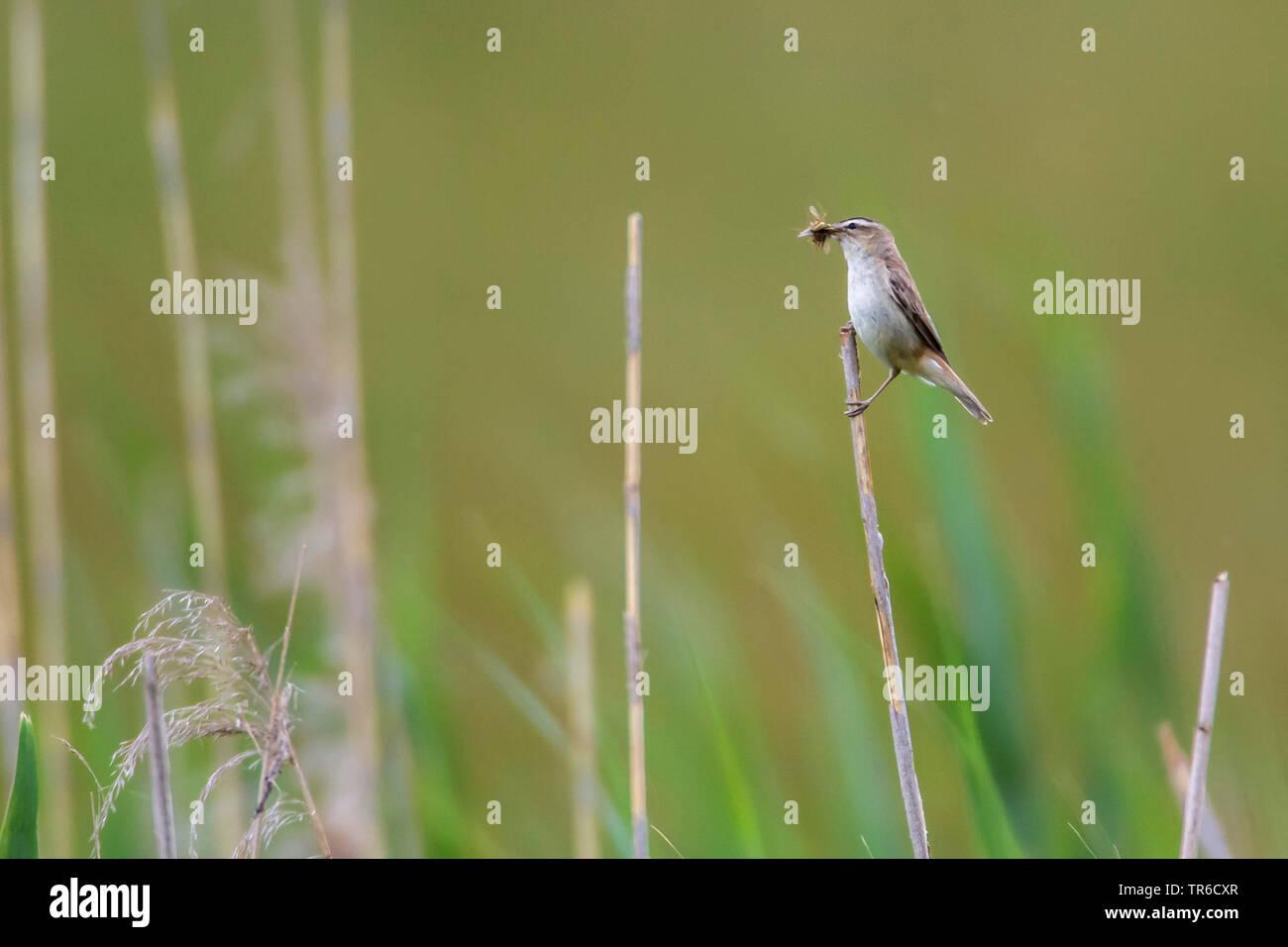 Schilfrohrsaenger, Schilf-Rohrsaenger (Acrocephalus schoenobaenus), sitzt auf einem Schilfhalm mit dem Schnabel voller Insekten, Seitenansicht, Deutsc - Stock Image
