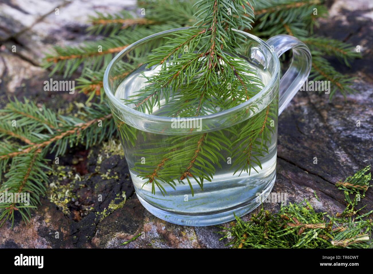 Norway spruce (Picea abies), tree from spruce needle, Germany - Stock Image