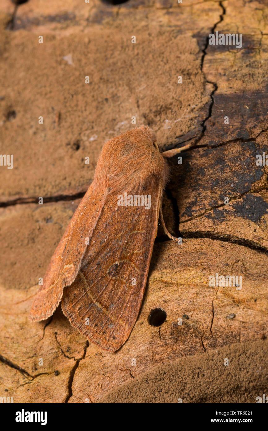 Rundfluegel-Kaetzcheneule, Rundfluegelkaetzcheneule, Gemeine Kaetzcheneule, Rotgelbe Fruehlingseule, Gemeine Fruehlingseule (Orthosia cerasi, Monima c - Stock Image