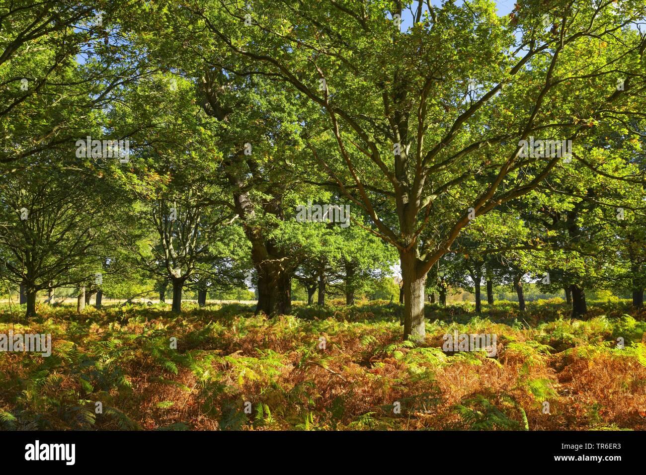 Eichenwald mit Adlerfarn im herbstlichen Richmond Park, Grossbritannien, England, London   autumnal oak forest with eagle fern in the Richmond Park, U - Stock Image