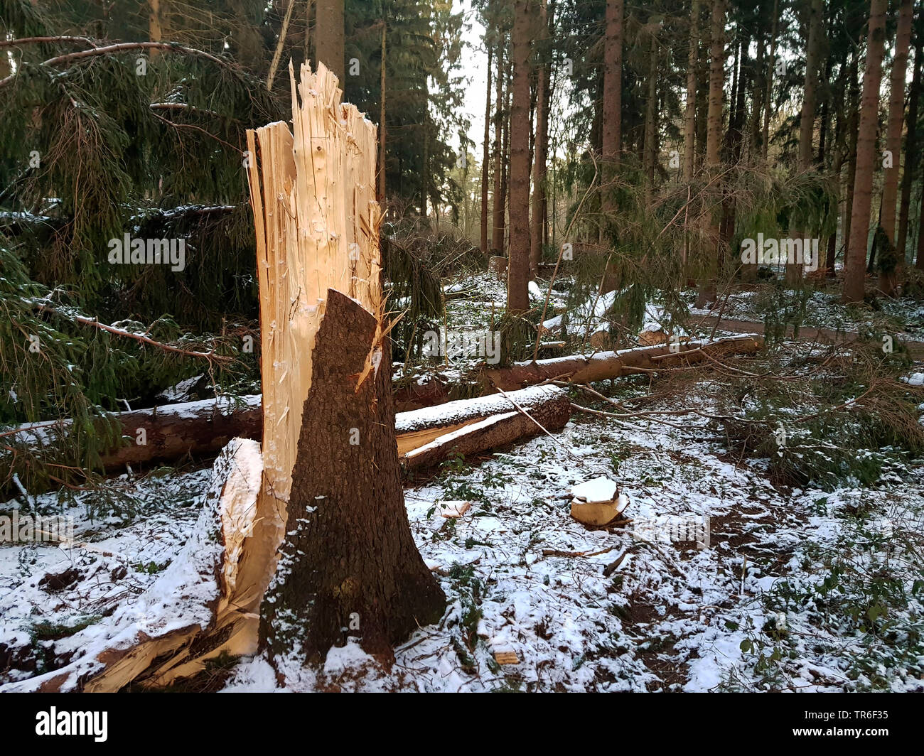 Norway spruce (Picea abies), broken trunk after a storm in winter, Germany, North Rhine-Westphalia - Stock Image