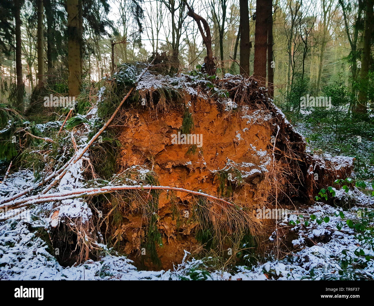 Norway spruce (Picea abies), fallen trunk after a storm in winter, Germany, North Rhine-Westphalia - Stock Image
