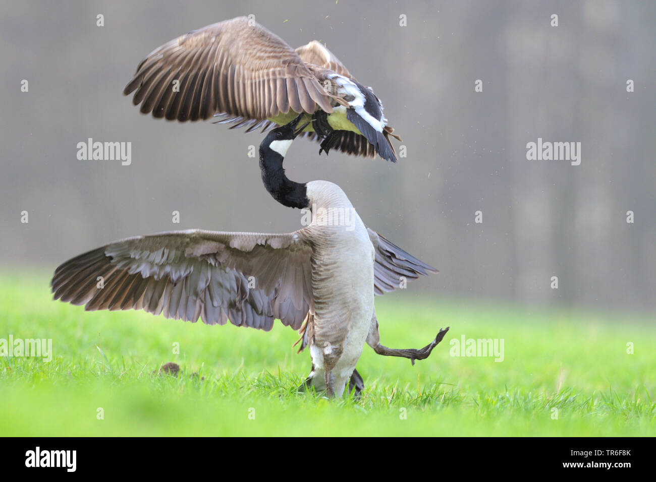 Canada goose (Branta canadensis), two fighting Canada geese in a meadow, Germany - Stock Image