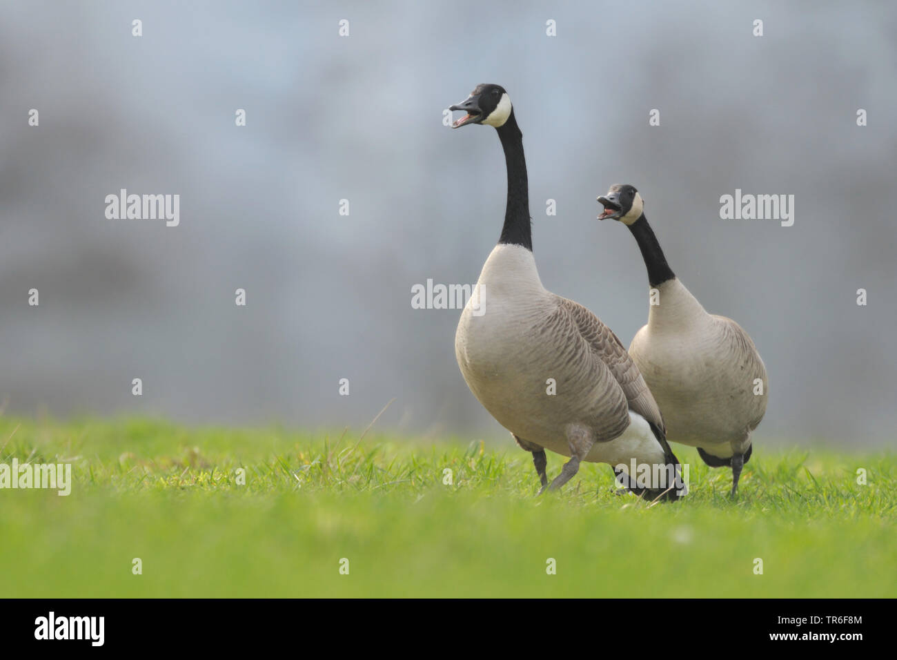 Canada goose (Branta canadensis), two conflicting Canada geese in a meadow, Germany - Stock Image