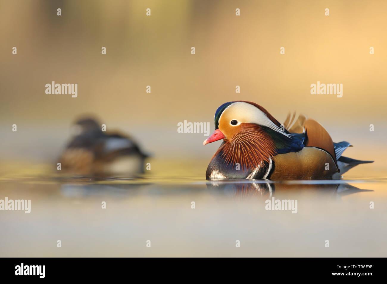 Mandarinente, Mandarin-Ente (Aix galericulata), schwimmendes Paar, Maennchen im Vordergrund, Deutschland | mandarin duck (Aix galericulata), swimming - Stock Image