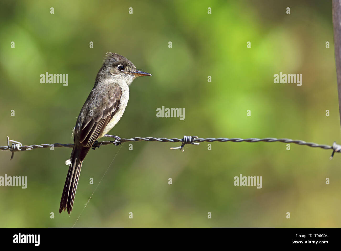 greater Antillean pewee (Contopus caribaeus), sitting on a barbwire, Cuba, Zapata  National Park Stock Photo