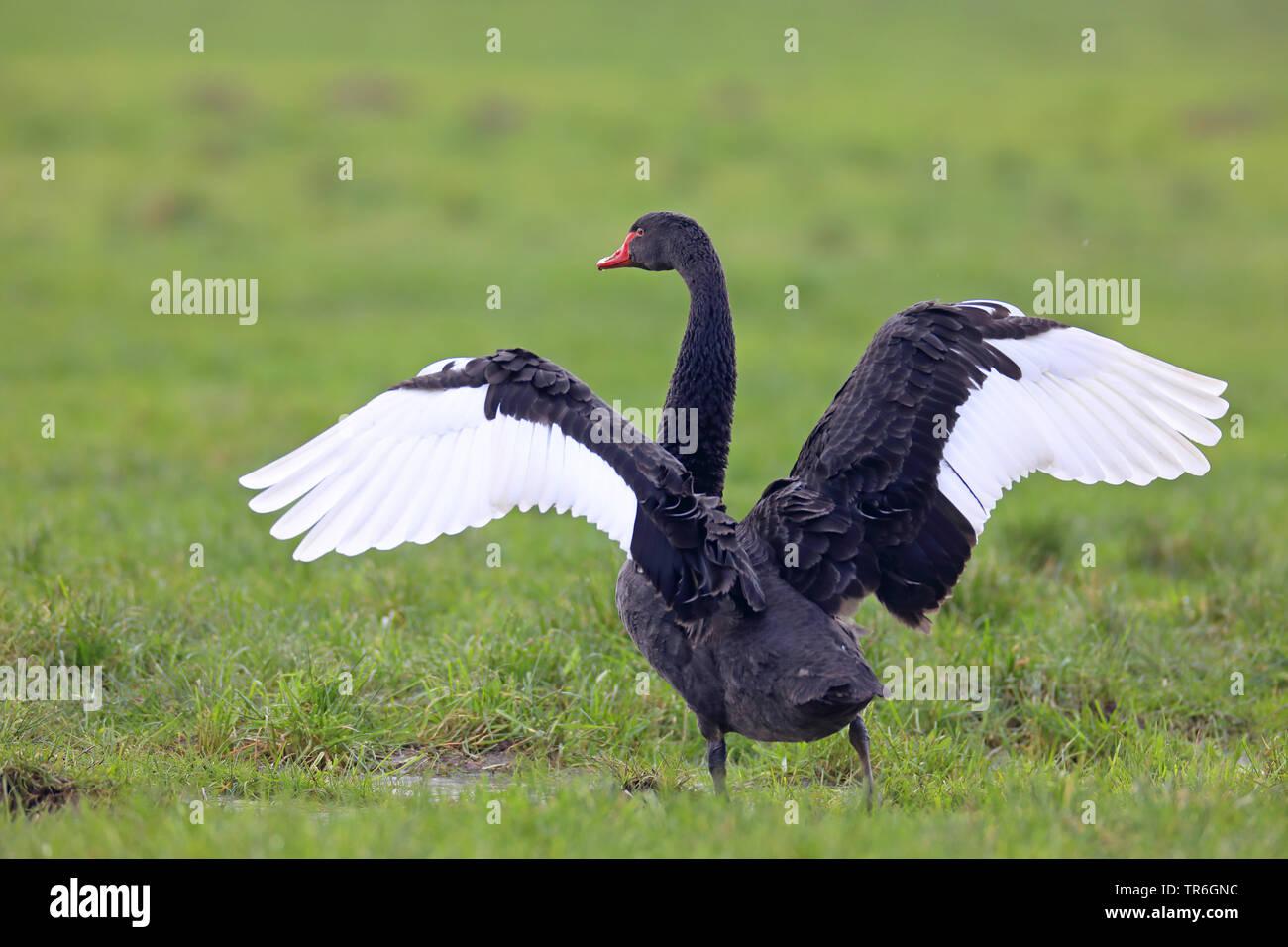 Schwarzschwan, Schwarz-Schwan, Trauerschwan, Trauer-Schwan, Schwarzer Schwan (Cygnus atratus), fluegelschlagend auf einer Weide, Niederlande   black s - Stock Image