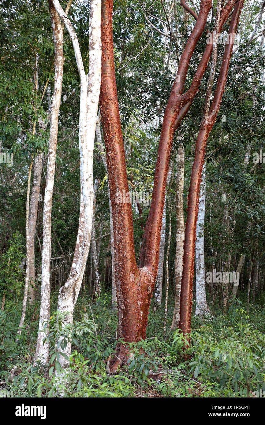 Weissgummibaum, Weiss-Gummibaum, Amerikanischer Balsam, Touristenbaum, Touristen-Baum (Bursera simaruba), Staemme, Kuba, Zapata Nationalpark   gumbo-l - Stock Image