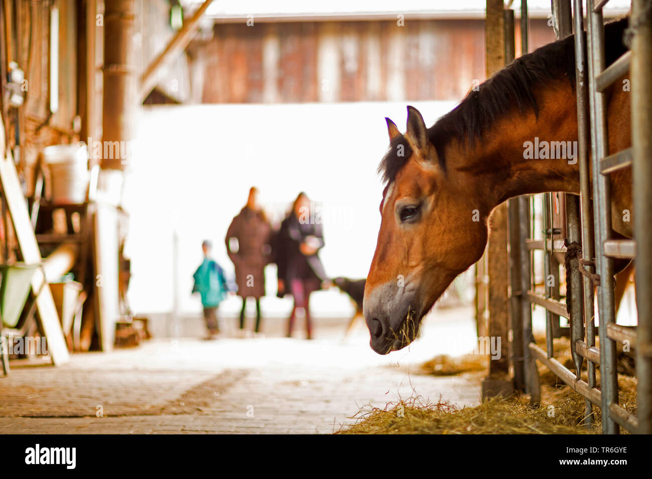Pferd (Equus przewalskii f. caballus), im Stall, Deutschland | domestic horse (Equus przewalskii f. caballus), in stable, Germany | BLWS484092.jpg [ ( - Stock Image
