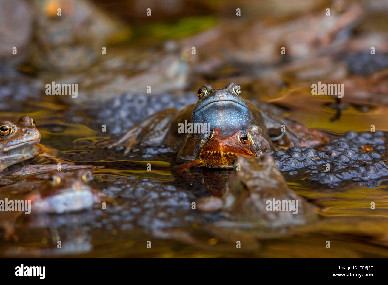 common frog, grass frog (Rana temporaria), spawning with spawn clumps, Germany, Bavaria - Stock Image