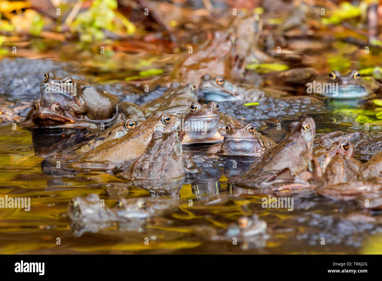 common frog, grass frog (Rana temporaria), several grass frogs spawning with spawn clumps, Germany, Bavaria - Stock Image