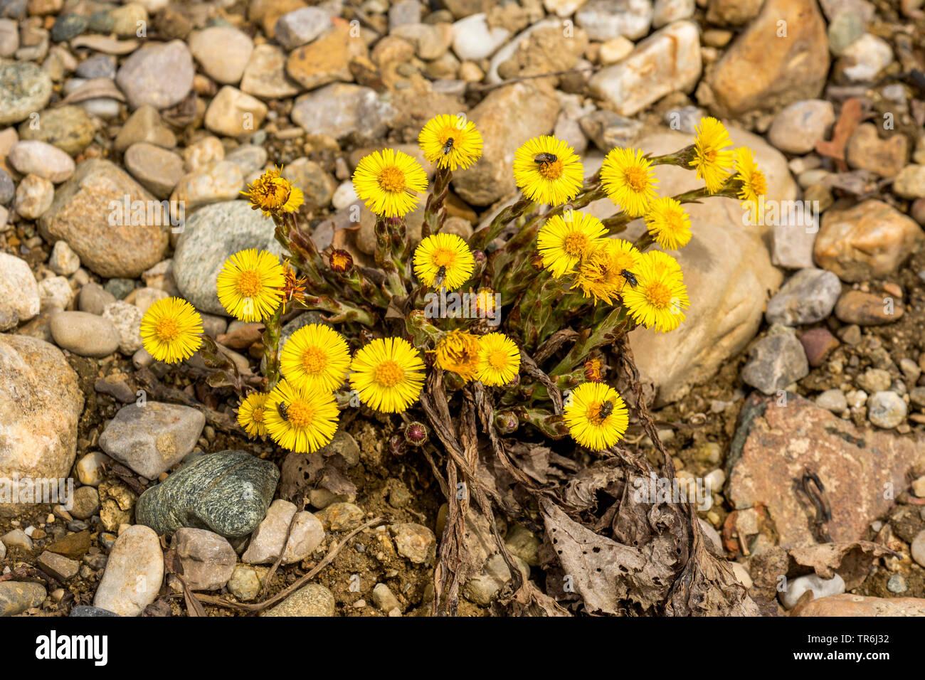 Huflattich (Tussilago farfara), bluehend, mit zahlreichen Insekten, Deutschland, Bayern | colts-foot, coltsfoot (Tussilago farfara), blooming with sev - Stock Image