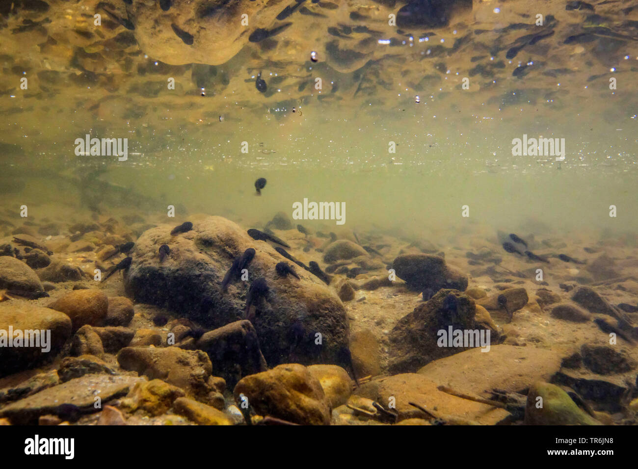 common frog, grass frog (Rana temporaria), polliwogs feeding on algae on pebble stones in a little creek, Germany, Bavaria - Stock Image