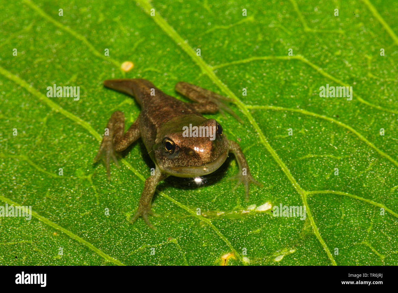 common frog, grass frog (Rana temporaria), young frog on a leaf, Germany - Stock Image